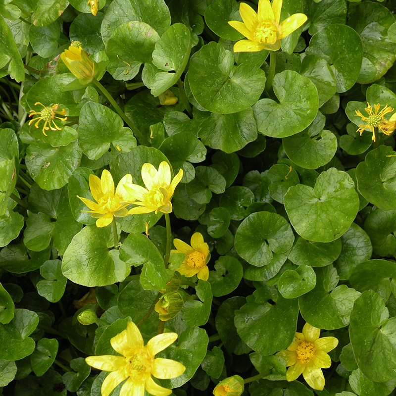 Lesser Celadine, a common invasive plant in Overlook.
